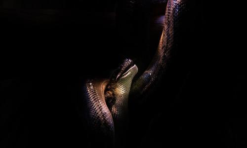 【夢占い】蛇の夢は良い夢?状況毎に意味合いが変わるので確認しよう